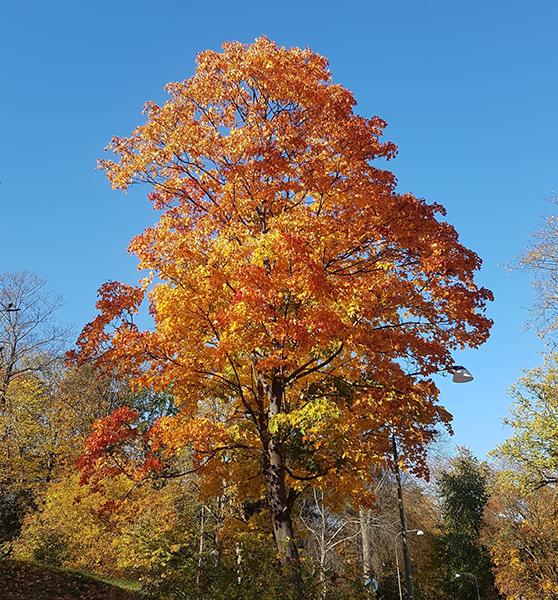Ett foto på ett träd med orangea löv.