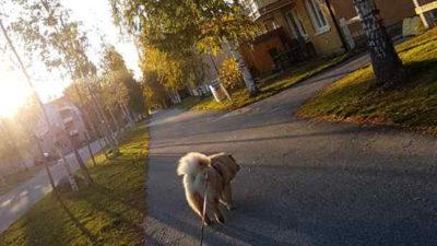 Hund som går promenad.