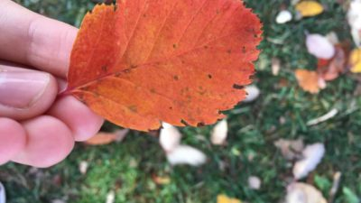 Ett rödbrunt eklöv