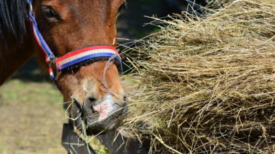 En häst äter hö.