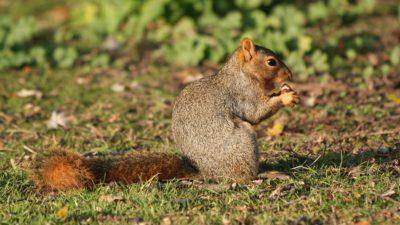 En ekorre sitter på en mosstäckt mark. I framtassarna håller den ett frö som den äter på. Pälsen är jämn och öronen små.