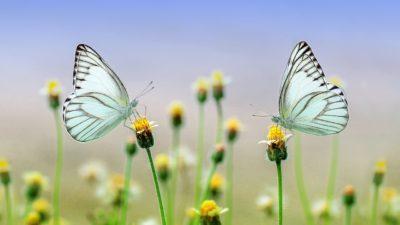 Två fjärilar sitter på varsin blomma på en äng.