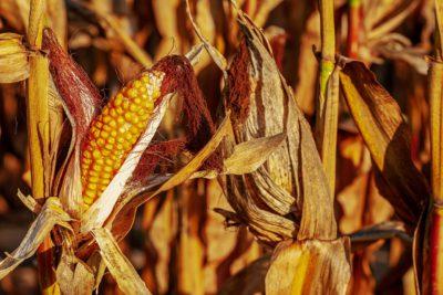 En majskolv sitter på en torr och brun planta på ett majsfält.