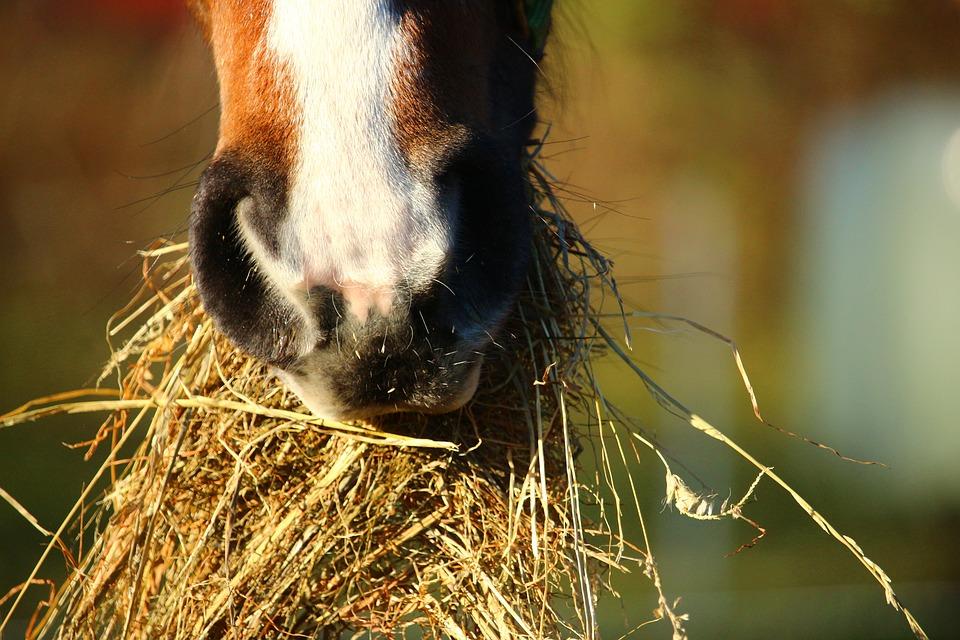 En häst som tuggar på torrt hö.