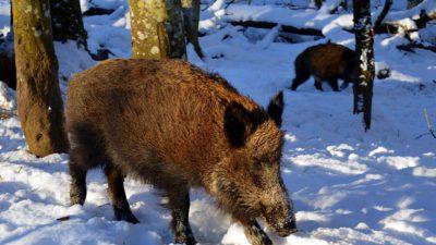 Närbild på ett vildsvin. Marken är täckt av snö. I bakgrunden finns träd.