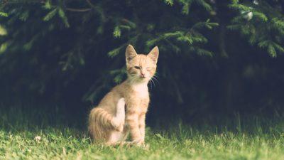 En röd-vit katt sitter i gräset, den blundar med ena ögat.