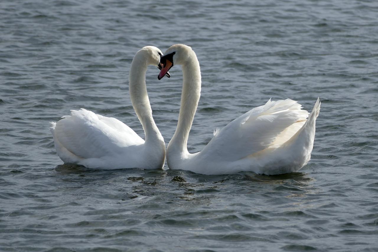 Två svanar på vattnet. De håller huvudet emot varandra så deras halsar bildar ett hjärta tillsammans.