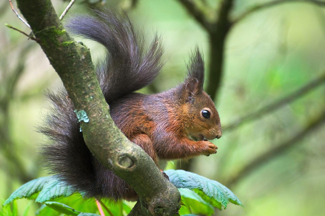 En ekorre sitter i ett träd. I framtassarna håller den ett frö som den äter på.