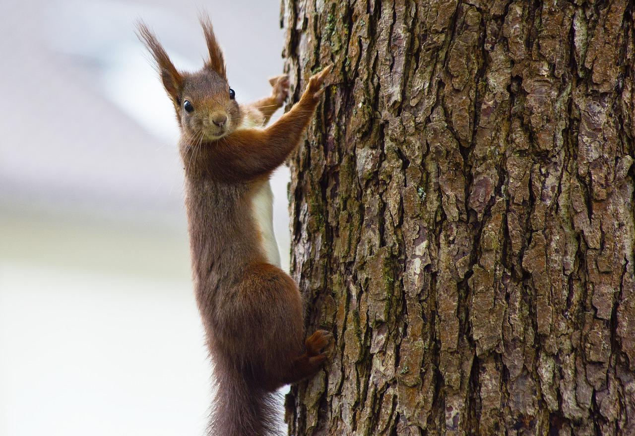 En ekorre sitter på en trädstam och spanar.
