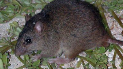 En brun råtta