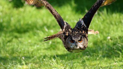 Bild på en mäktig uggla/berguv. Den flyger rak mot kameran med sin breda vindbredd.