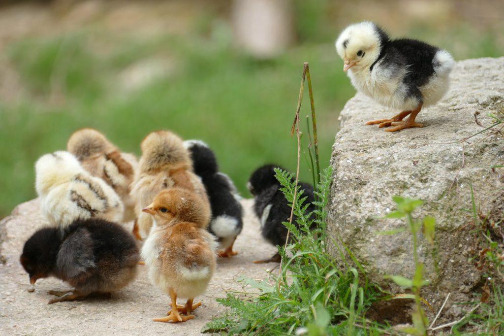 Bild på små söta kycklingar som leker ute i naturen.