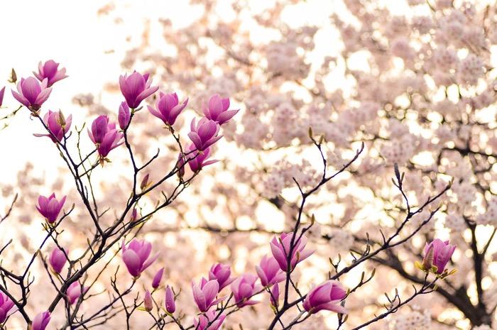 utslagen blommor på ett träd