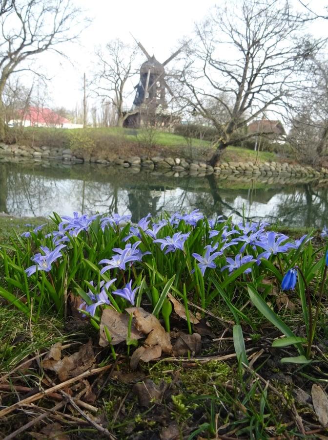 Blå blommor i en park och en mölla i bakgrunden