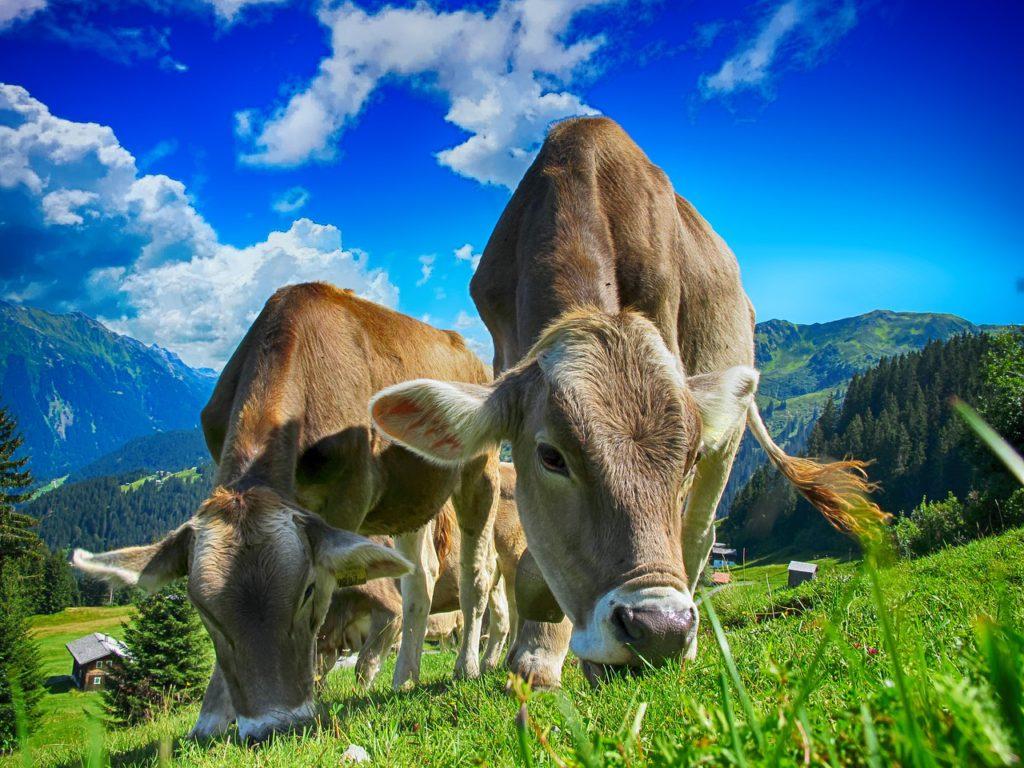Kor betar på en grön gräsmatta. I bakgrunden syns berg och en himmel med några få moln.