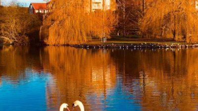 Två svanar nära varandra i en damm i en park
