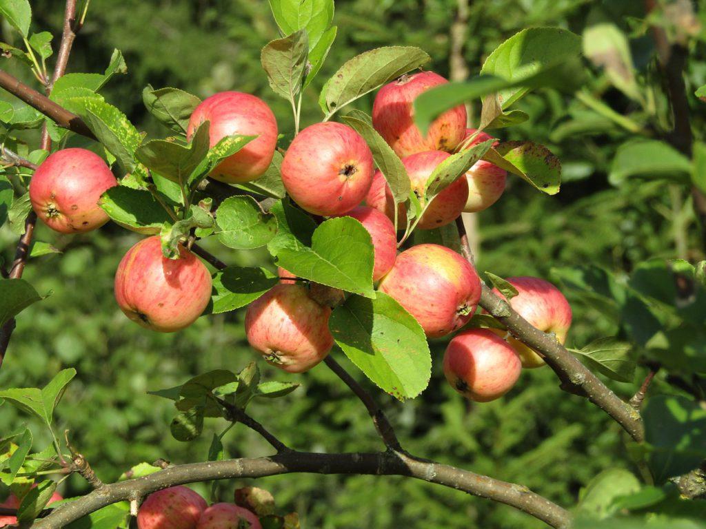 En trädgren fylld med fina äpplen i fint solljus.