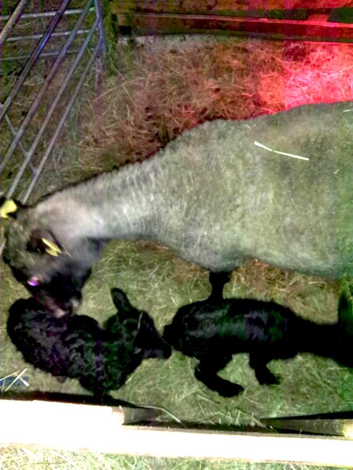 en vit tacka och tre nyfödda lamm