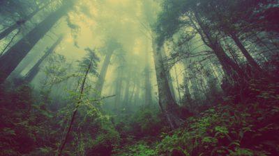 Bild på en mystisk skog. Det är lite dimmigt och trädtopparna täcker det knappa ljuset från solen. Det är lummigt och mycket friska blad.