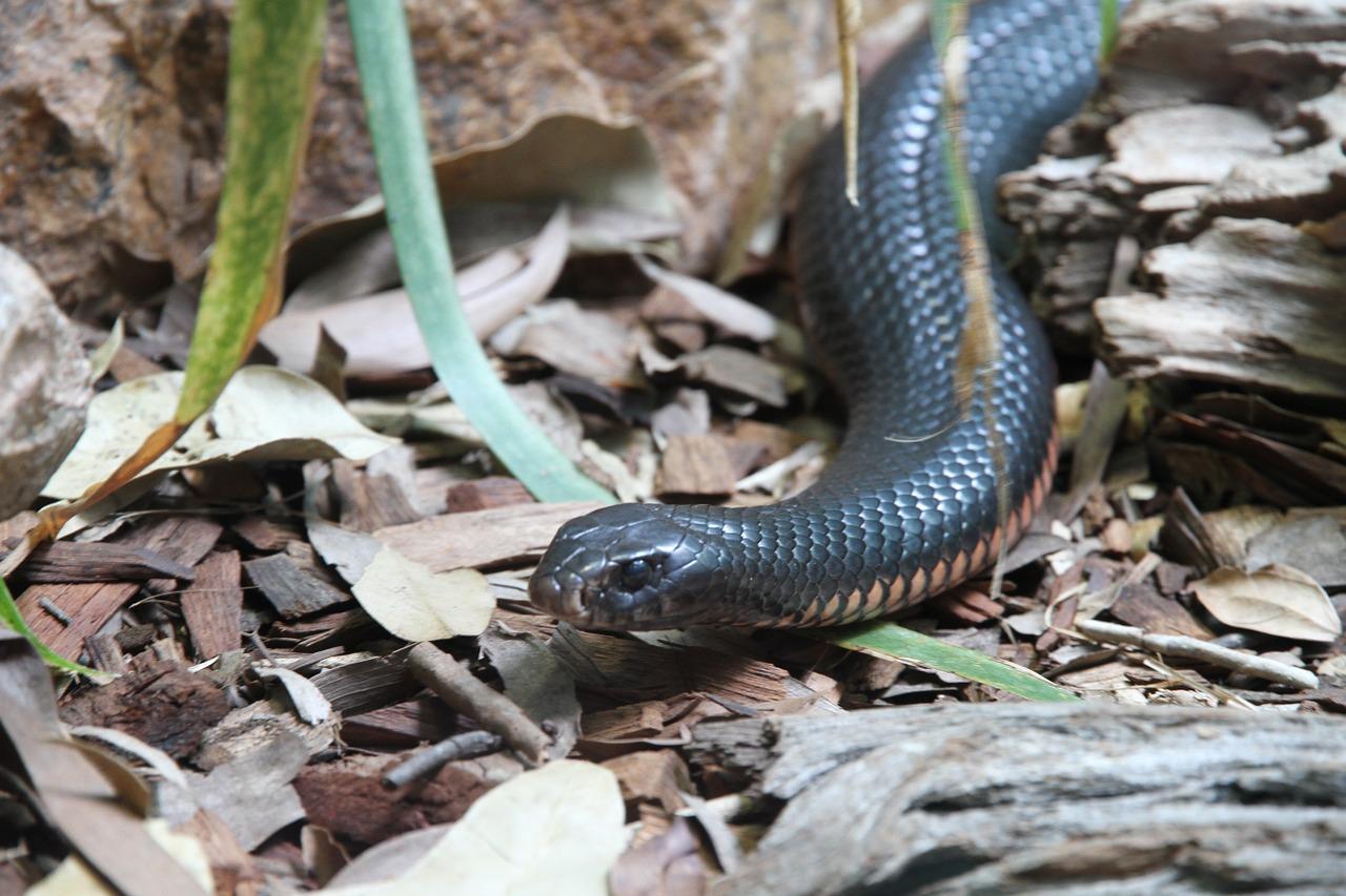 En ganska kort och tjock orm kryper över löv på marken.