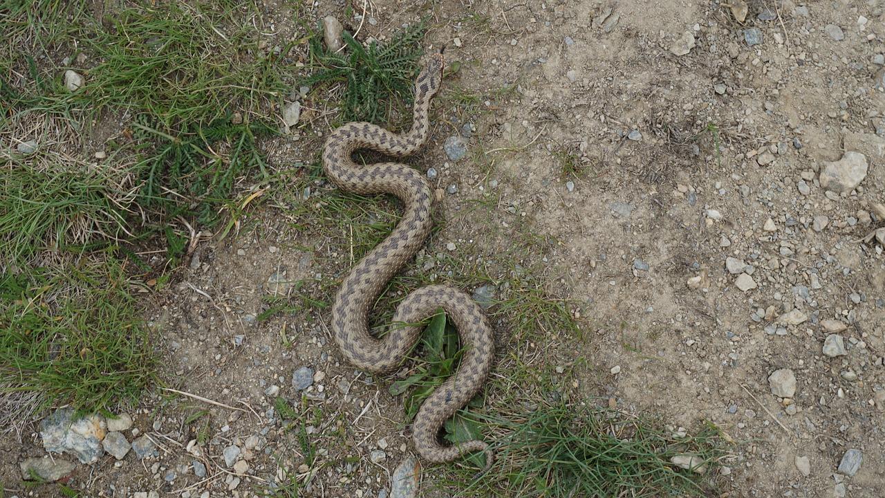 En orm ringlar över marken. Den har ett sicksackmönster på ryggen.