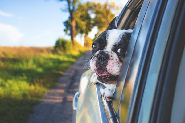 Hund som sticker ut huvudet ur bilrutan.