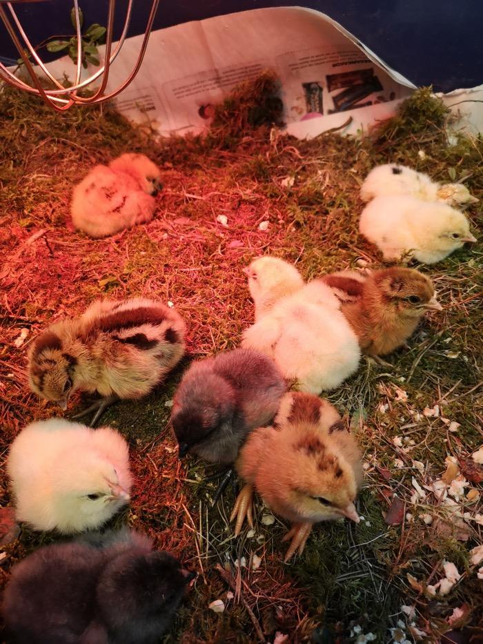Kycklingar i bur under värmelampa.