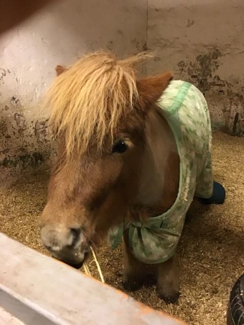 Närbild på liten häst.