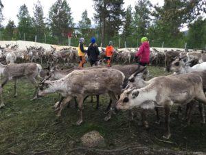 Minireportrarna ståri hagen omgivna av renar.
