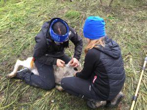 Helen sitter över en kalv och märker den i örat. Ella sitter bredvid och håller i kalvens huvud.