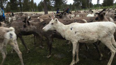 En vit ren står bland massor andra bruna renar.