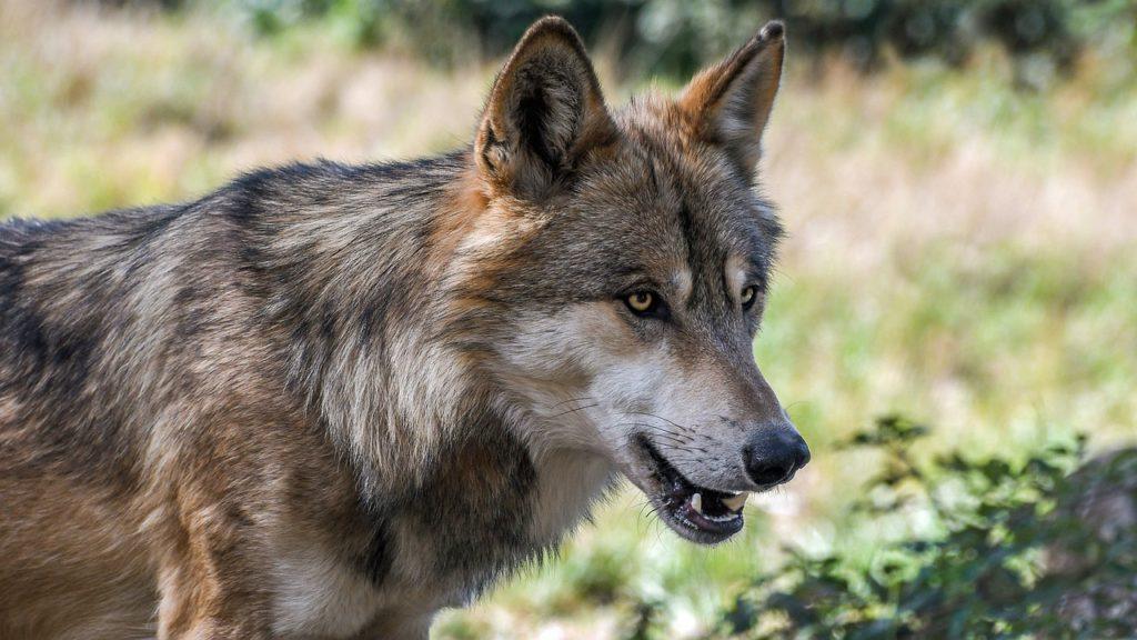 En varg står i skogen. Den har lång nos, lurviga öron och små ögon.