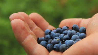 En hand som håller i blåbär