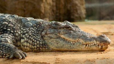 En krokodil som ligger på sand