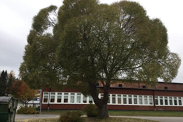 Foto på ett pilträd.