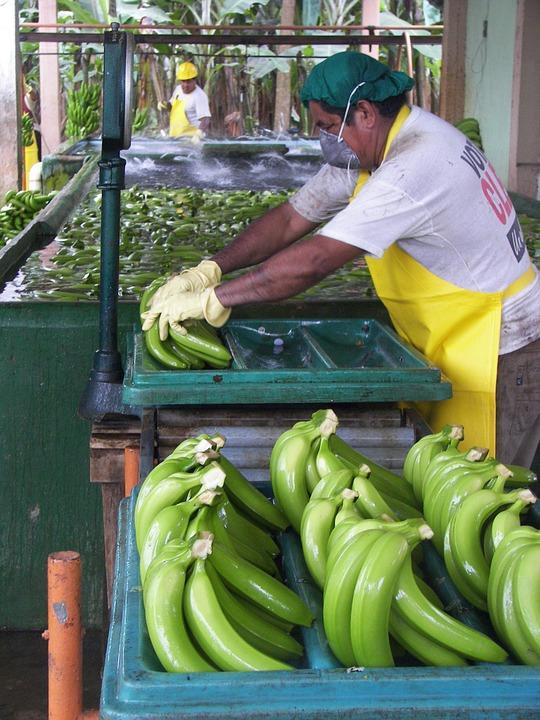 En man paketerar bananer. Han har ett munskydd på sig.