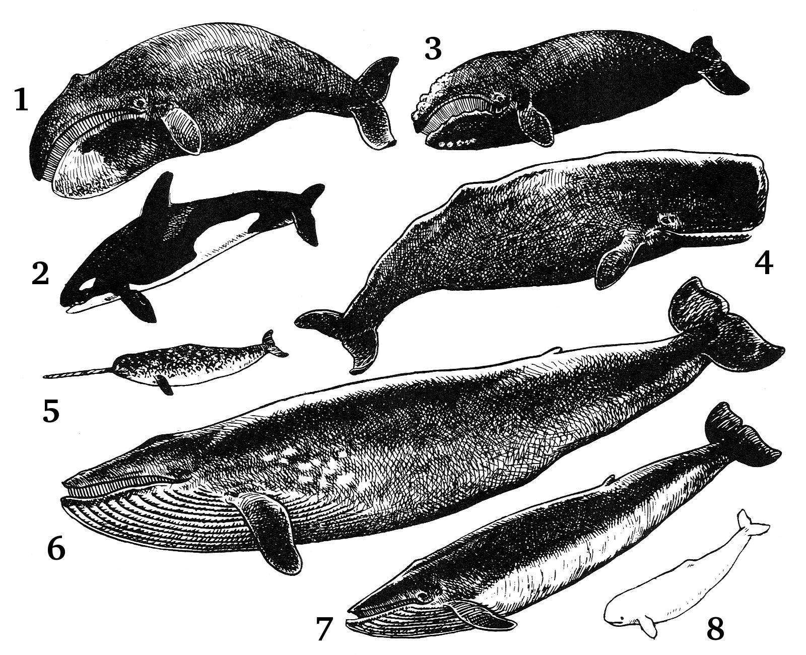 Olika typer av valar