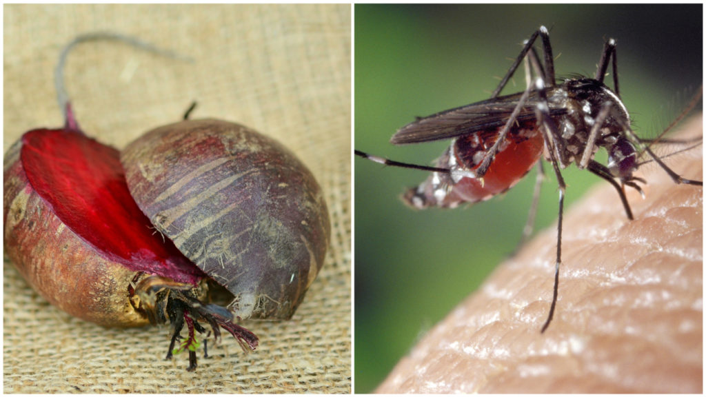 En mygga och rödbetor.