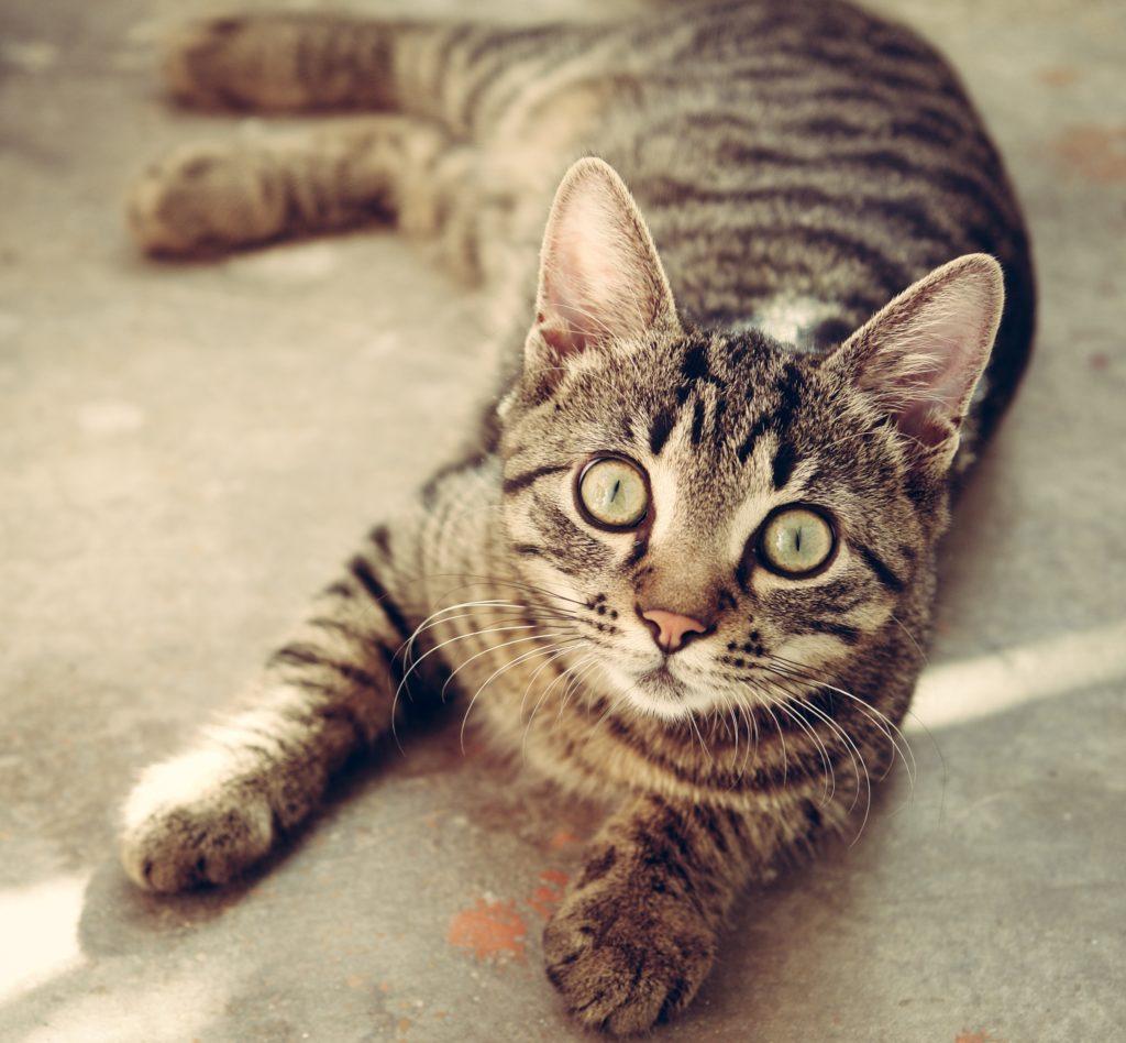 En katt