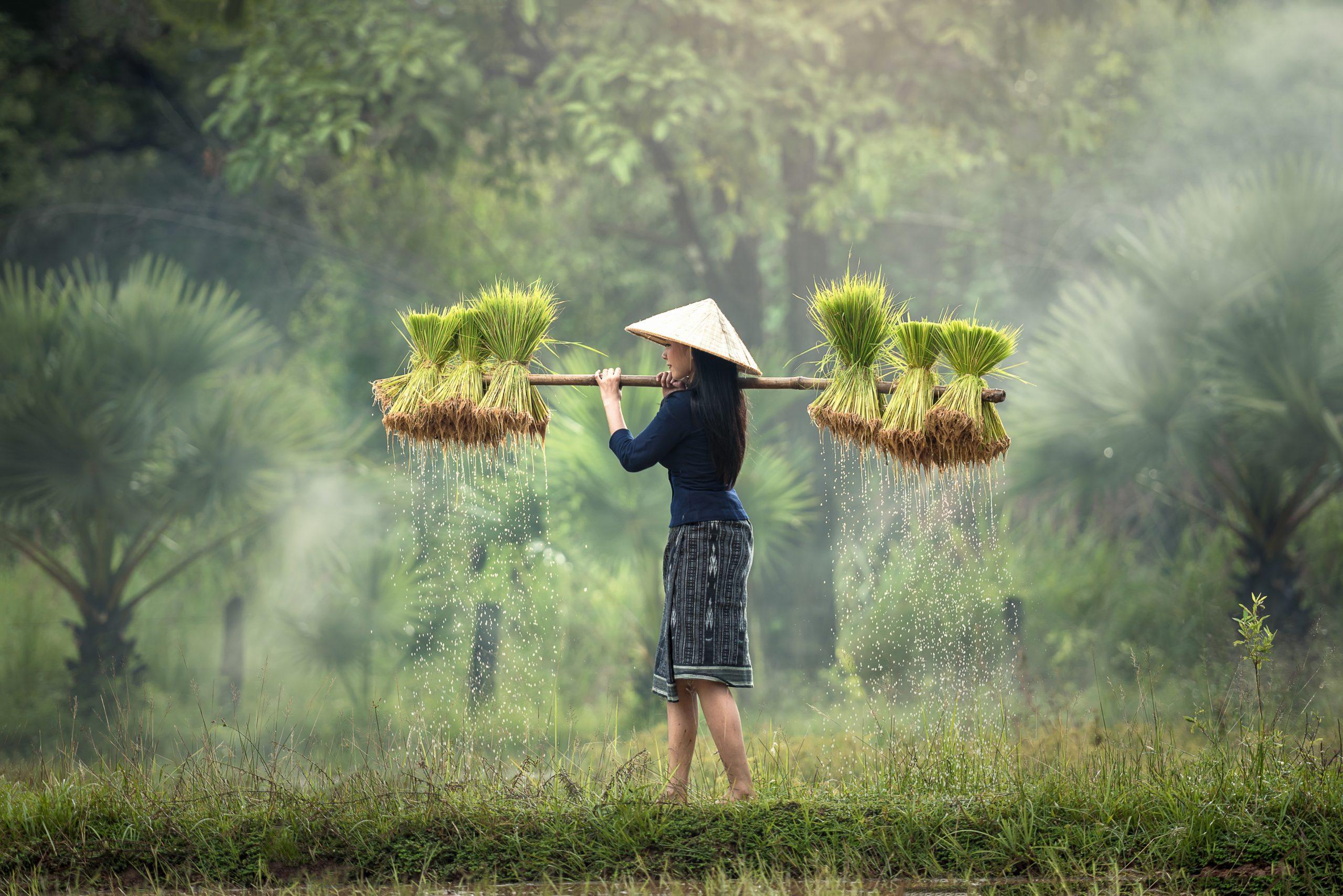 En kvinna vid ett risfält.