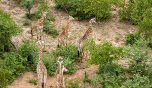 Giraffer som vandrar