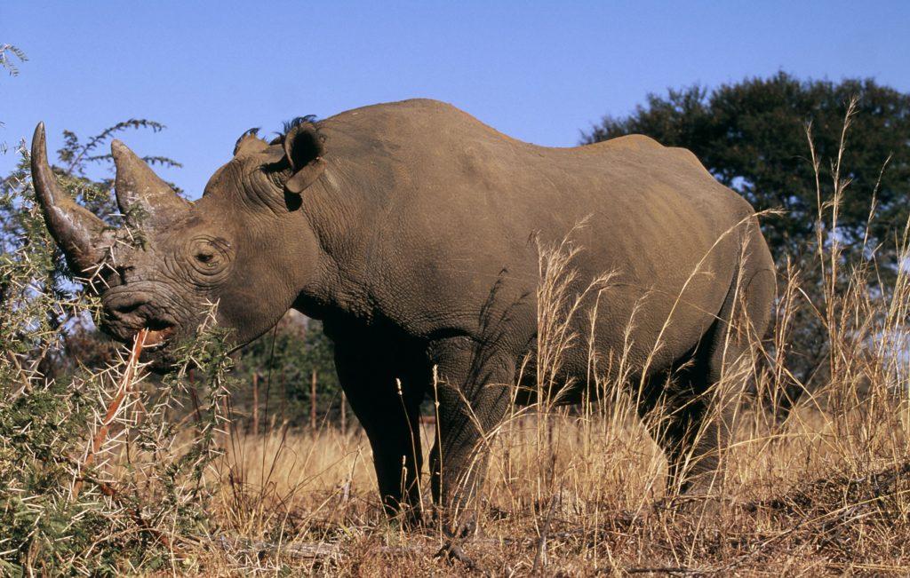 Veckans fördjupning noshörningar.