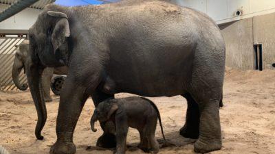 Elefanten Nua med sin nyfödda kalv.