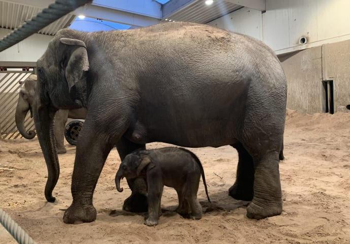 Kungens elefant har fått barn