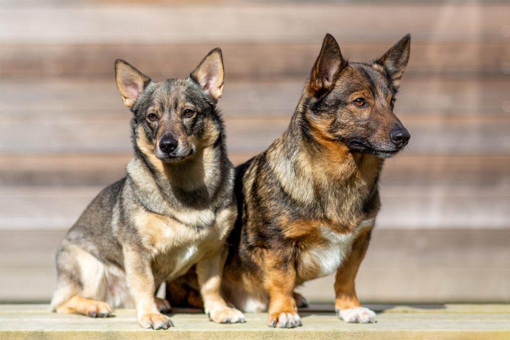 Två hundar av rasen västgötaspets