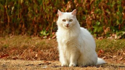 En stor vit katt sitter vid väggrenen.
