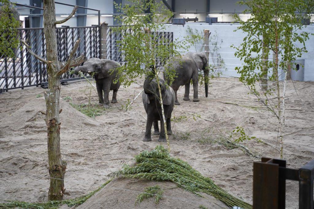 Tre elefanter som tidigare arbetat på cirkus