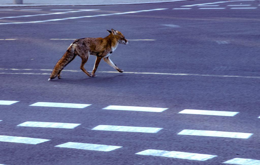 En räv går på gatan