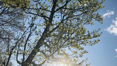 Nyutslaget träd i motljus.