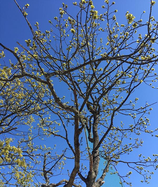 Foto på ett träd som precis fått löv.